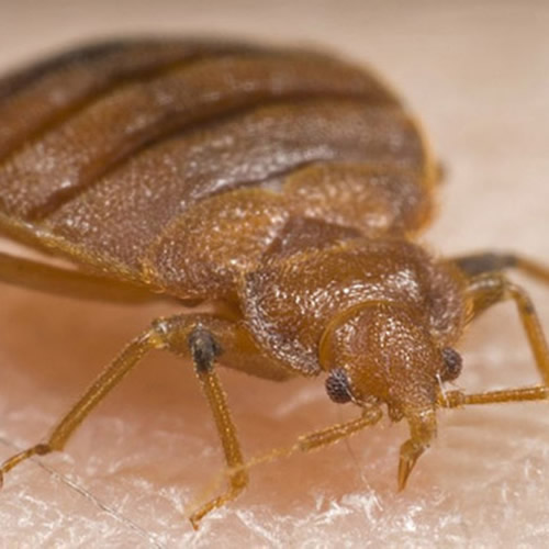 Bedbug pest control Margate, Broadstairs, Ramsgate, Canterbury, Thanet, Dover, Herne Bay, Whitstable
