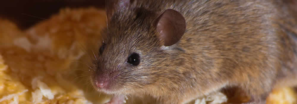 Mice Pest Control in Thanet & East Kent pest control Margate, Broadstairs, Ramsgate, Canterbury, Thanet, Dover, Herne Bay, Whitstable