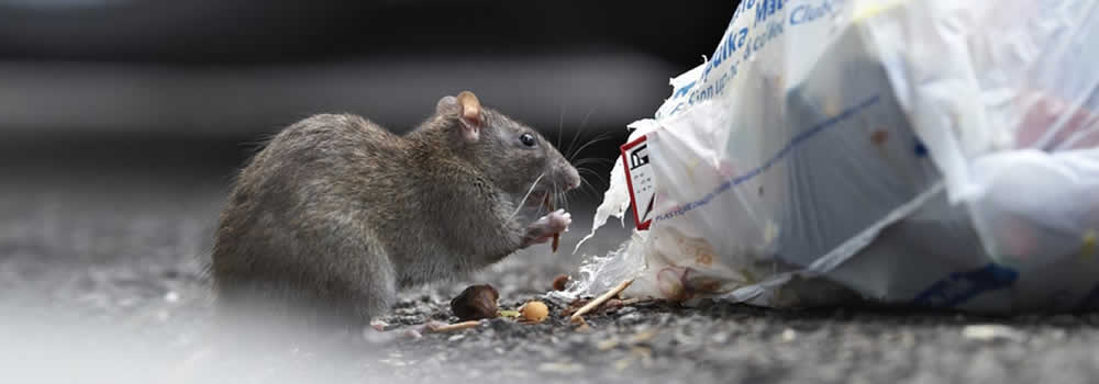 Rats Pest Control in Thanet & East Kent pest control Margate, Broadstairs, Ramsgate, Canterbury, Thanet, Dover, Herne Bay, Whitstable