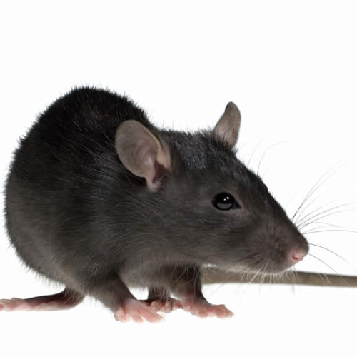 Rat pest control Margate, Broadstairs, Ramsgate, Canterbury, Thanet, Dover, Herne Bay, Whitstable